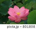 大賀ハス 古代蓮 オオガハスの写真 801808