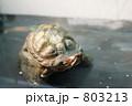 アカミミガメ(ミドリガメ) 803213