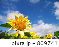 ひまわり畑 809741