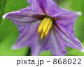 茄子の花 868022