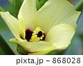 オクラの花 868028