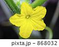 胡瓜の花 868032
