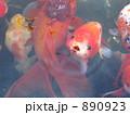 金魚 890923