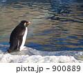 水面を見つめるイワトビペンギン 900889