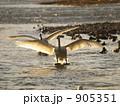 白鳥 905351