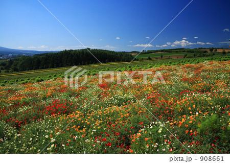 上富良野町の花畑の写真素材 [908661] - PIXTA
