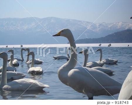 白鳥の集う湖 918743