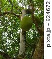 パンの木 924672