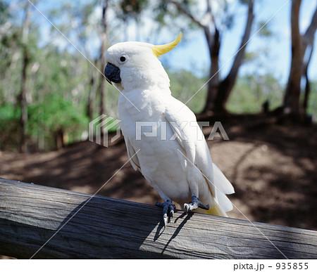 オーストラリア・白いオームの写真素材 [935855] - PIXTA