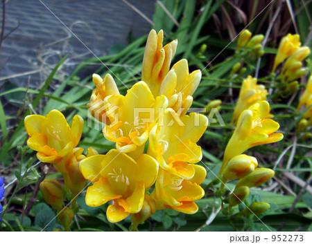 庭に咲く黄色い花フリージア 952273