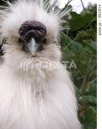 烏骨鶏。顔のアップ 962854