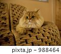 猫 988464