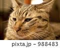猫 988483