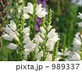 白の花虎ノ尾(ハナトラノオ) 989337