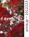 寒桜 1012223