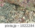 オシャレカクレエビ 1022284