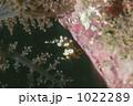 イソギンチャクモエビ 1022289