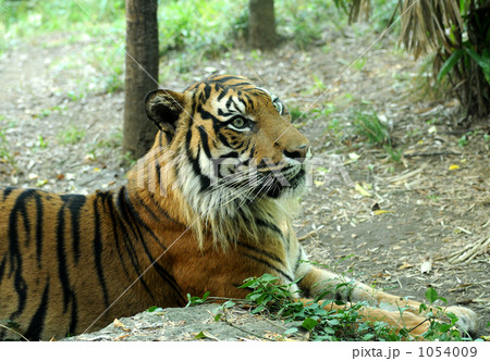 スマトラトラ トラ 虎の写真素材 [1054009] - PIXTA