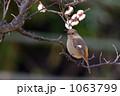 ジョウビタキ(メス) 1063799