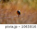 ジョウビタキ(オス) 1063816