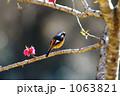 ジョウビタキ(オス) 1063821