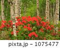 白樺とレンゲツツジ 001 1075477