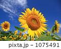 真夏のヒマワリ 1075491