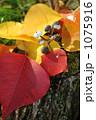 ナンキンハゼ 南京ハゼ 紅葉の写真 1075916