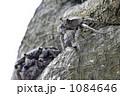 マングローブに生息する木登り蟹 1084646