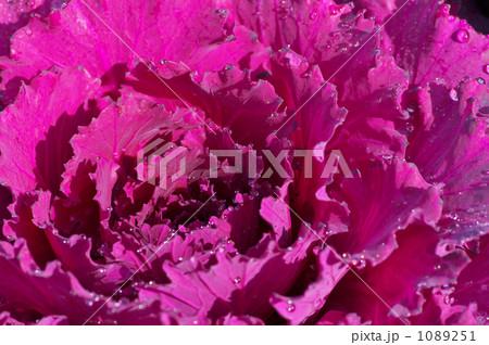 ハボタン 紫 1089251