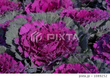 ハボタン 紫 1089252