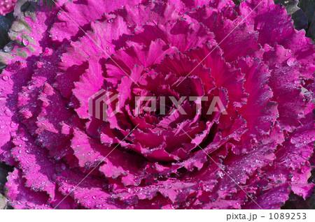 ハボタン 紫 1089253