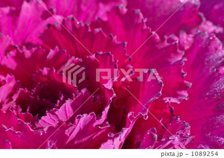 ハボタン 紫 1089254