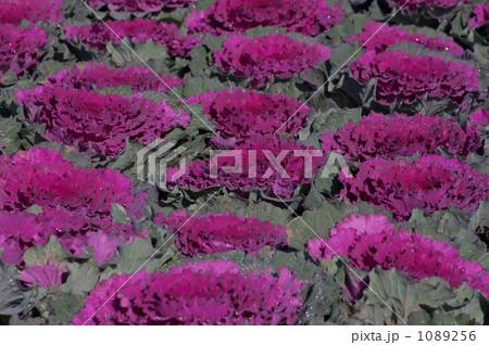 ハボタン 紫 1089256