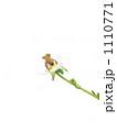 花とおしりと受粉 1110771