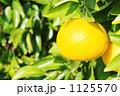 夏みかん なつみかん 夏蜜柑の写真 1125570
