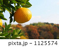 夏みかん なつみかん 夏蜜柑の写真 1125574