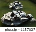 ミシシッピアカミミガメ 甲羅干し 亀の写真 1137027