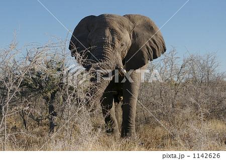 エトーシャ国立公園のアフリカゾウ 1142626