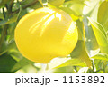 夏みかん なつみかん ナツミカンの写真 1153892