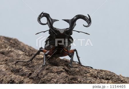 シカクワガタ クワガタムシ 昆虫の写真素材 [1154405] - PIXTA