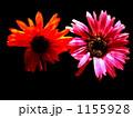 flower ガーベラ 花の写真 1155928