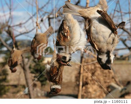 スズメの死骸 吊るす 見せしめ 害鳥 動物虐待 動物愛護 1160111