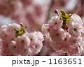 八重桜 ヤエザクラ サトザクラの写真 1163651