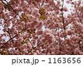八重桜 ヤエザクラ サトザクラの写真 1163656