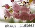 八重桜 ヤエザクラ サトザクラの写真 1163668
