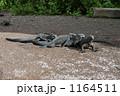 イグアナ ウミイグアナ 海イグアナの写真 1164511