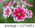 プリムラ 1171651