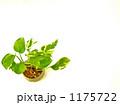 ポトス 1175722