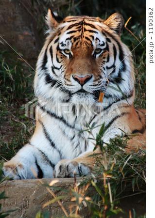 見つめる虎 1190362